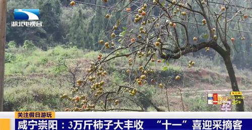 """崇阳:3万斤柿子大丰收,""""十一""""喜迎采摘客"""